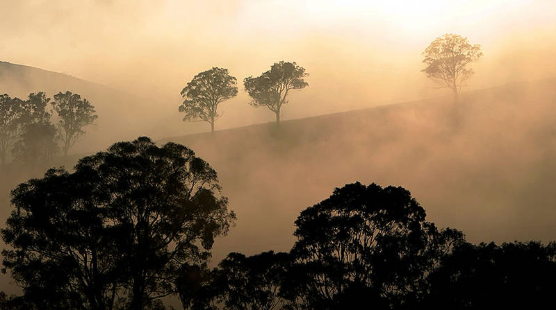 Trees in early morning mist, NSW, Australia